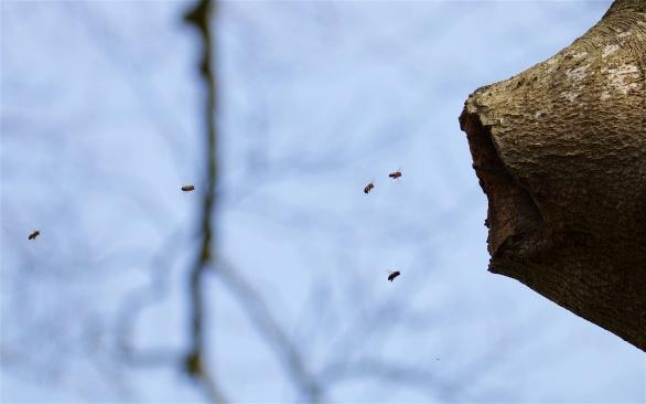 Honey bees in a beech tree