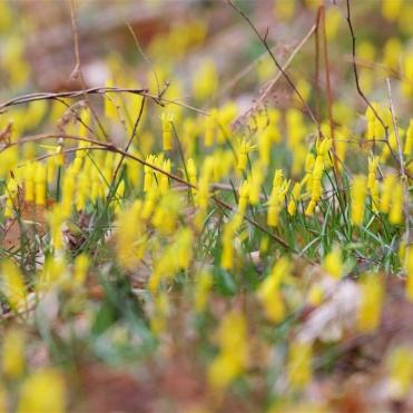 Carpet of cyclamen-flowered daffodils
