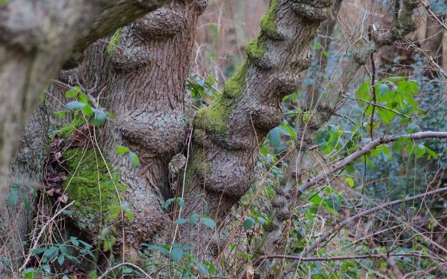 Knobbly streamside alders