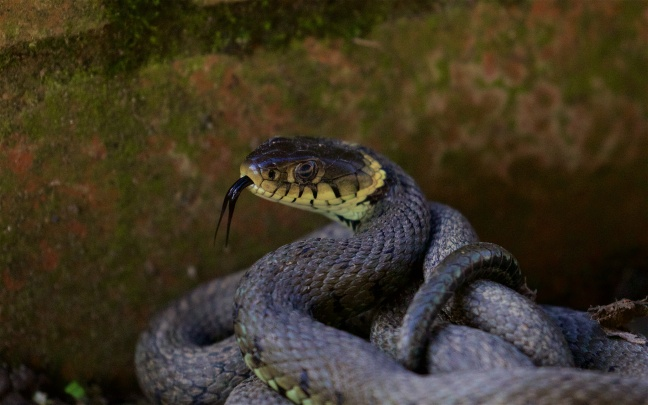 Grass snake on the patio