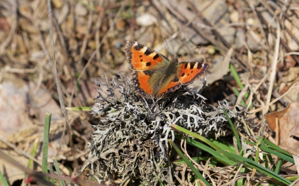 Small tortoiseshell, looking worn after overwintering as an adult