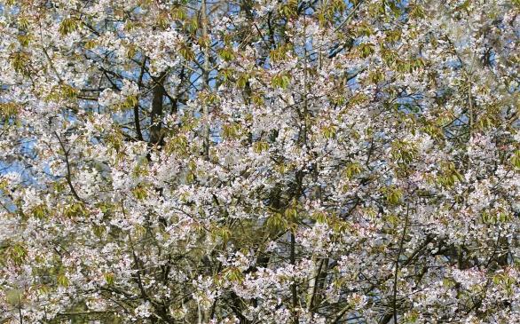 Bird cherry in blossom