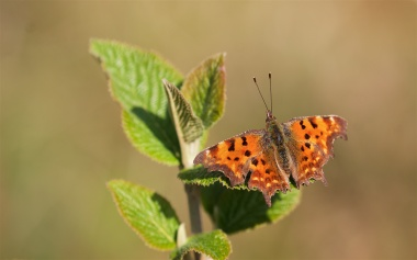 Comma butterfly on whitebeam