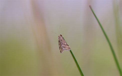 Unidentified, small day-flying moth species