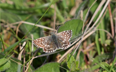 Grizzled skipper butterfly