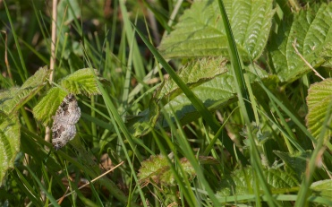 Common carpet moth