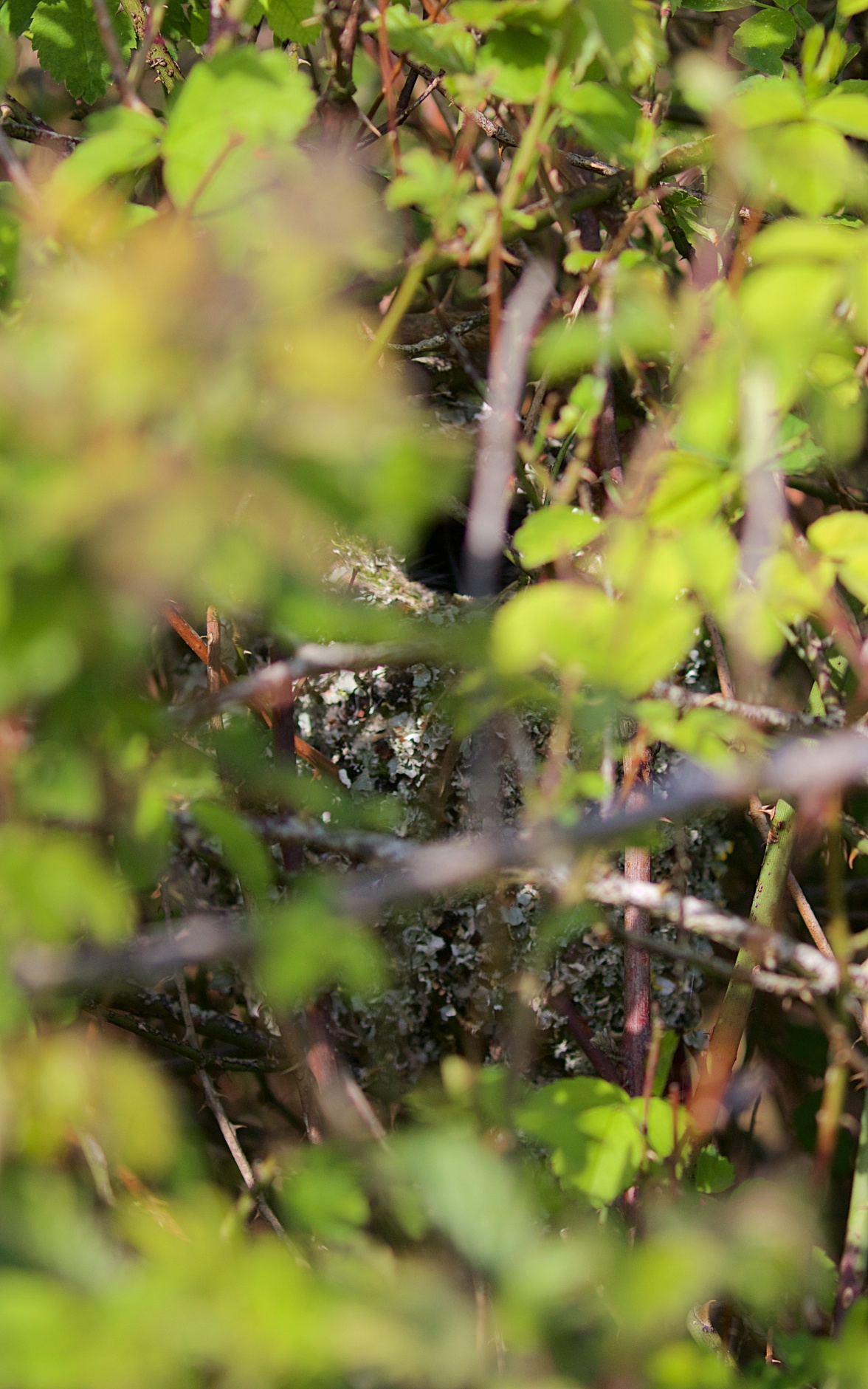 Long-tailed tit nest in a dense bramble