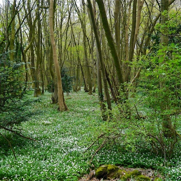 Wood anemones in early April