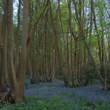 Bluebells in mid April that are largely over by mid May