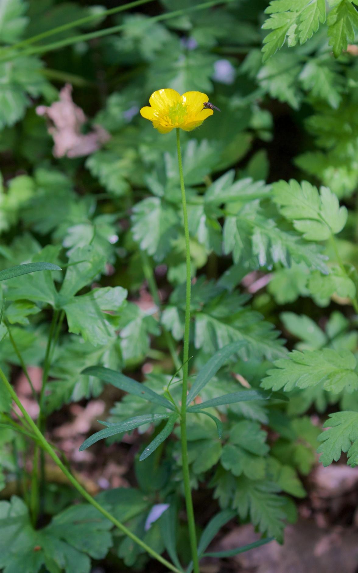 Goldilocks buttercup