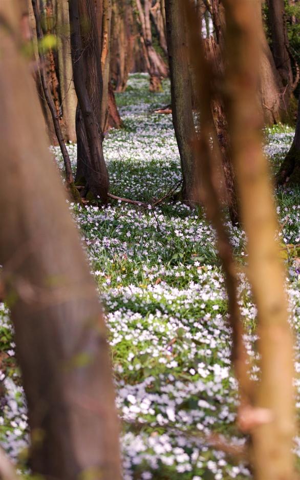 Wood anemone carpet