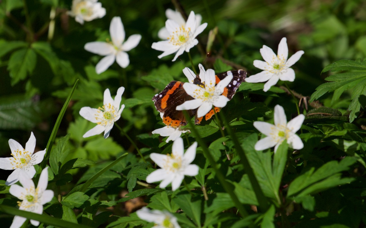 Red admiral among the wood anemone