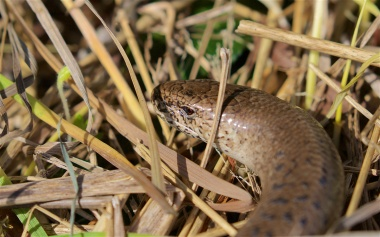 Large female slow worm