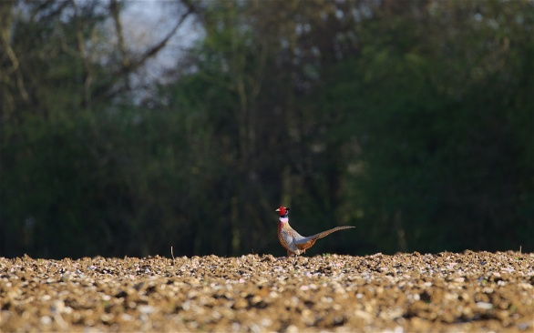 Pheasant on the run