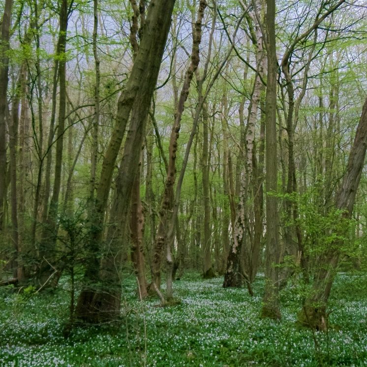The old coppice of tall ash, hornbeam, birch and beech with sparse understorey