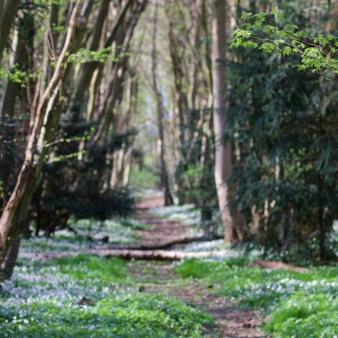 Another view of the hornbeam avenue