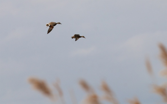 Pair of gadwall coming down into a hidden mere