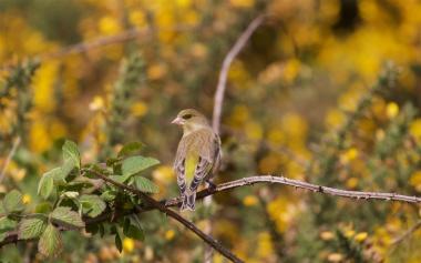 Female greenfinch