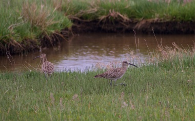 Two whimbrels at work