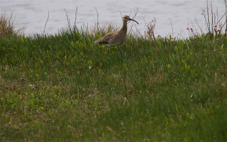 Whimbrel in a rare spell of sunlight; the distinctive striped head and short, curved bill make them quite easy to tell apart from the larger curlew