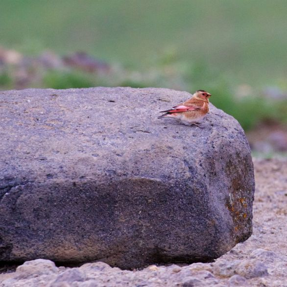 Crimson-winged finch