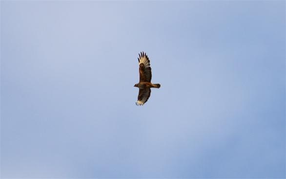 Long-legged buzzard in morning light