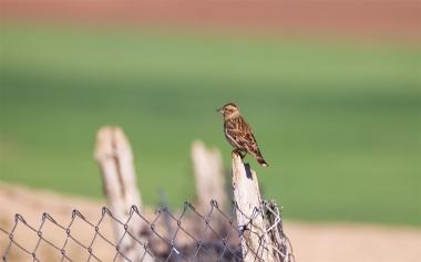 Breeding rock sparrow