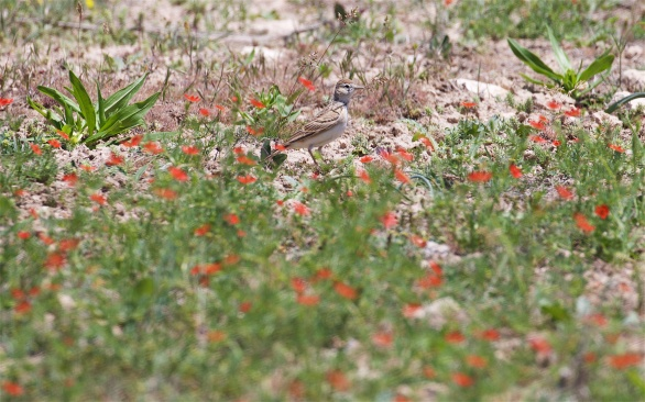 Short-toed lark and steppe flowers
