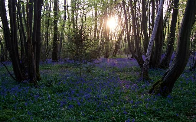 Bluebells at dusk