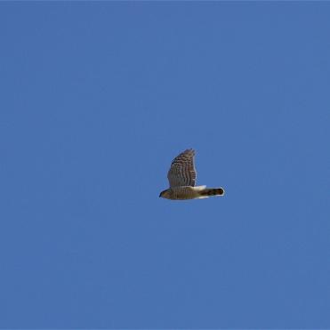 Female sparrowhawk soaring likewise