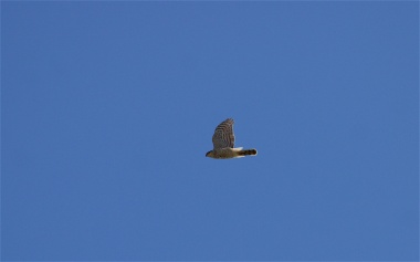 Female sparrowhawk soaring likewise