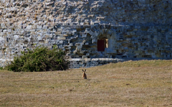 Brown hare standing guard at Camber Castle