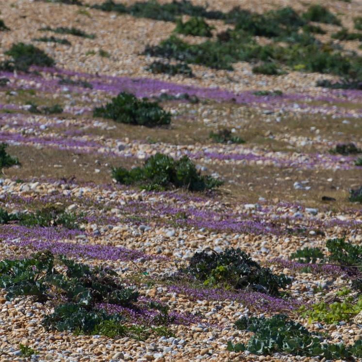 Ivy-leaved toadlflax smearing the shingle purple