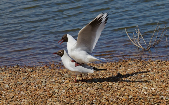 Black-headed gulls mating