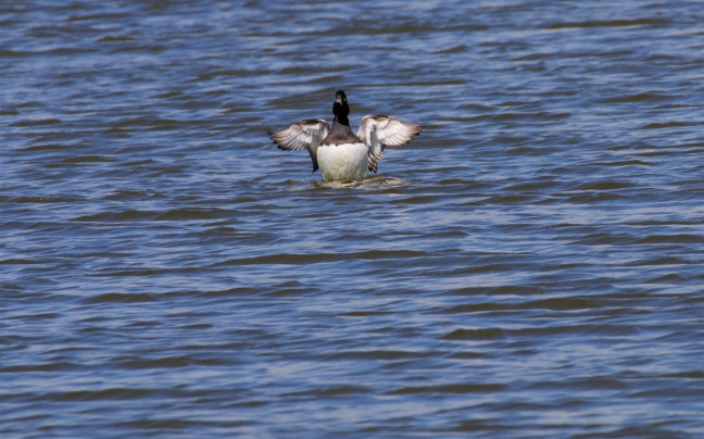 Male tufted duck having just mated