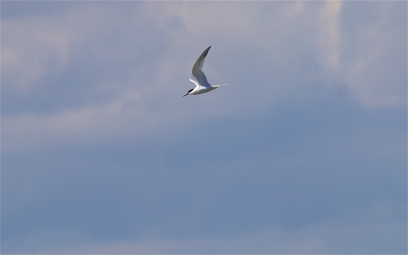 Sandwich tern sweeping through