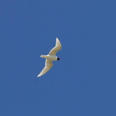 On of a pair of Mediterranean gulls