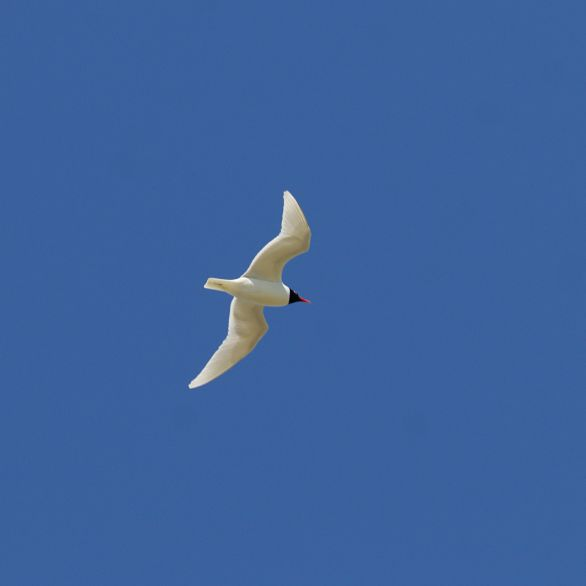 On of a pair of Mediterranean gulls