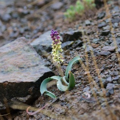Grape hyacinth species - Muscari muscarimi