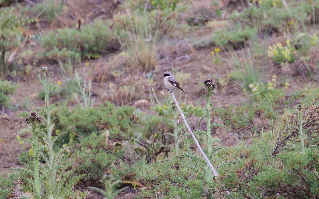 Lesser grey shrike