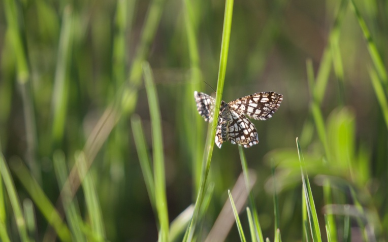 Latticed heath