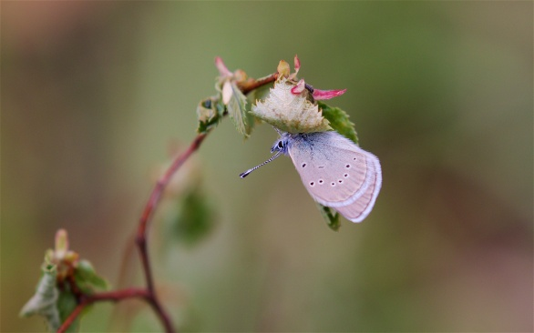 Sheltering blue butterfly