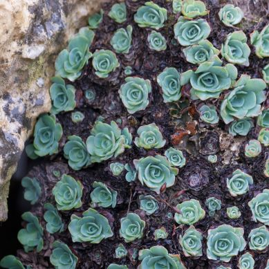 Another mountain plant species
