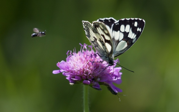 Marbled white and small bee species
