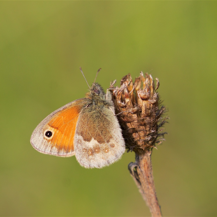 Small heath (photographed at Fackenden Down, Kent)