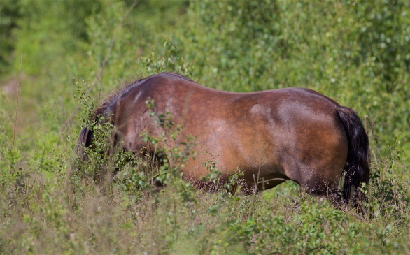 Exmoor pony on Broadwater Forest