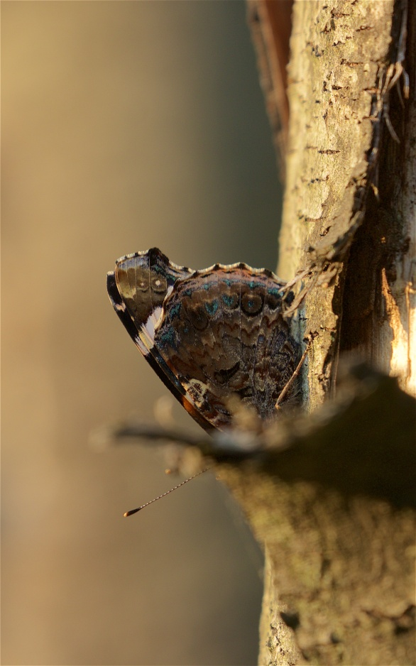 Red admiral on pine