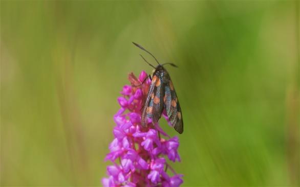 Narrow bordered 5-spot burnet on fragrant orchid