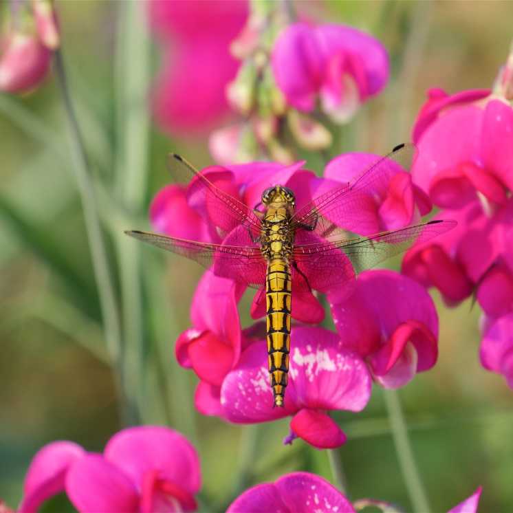 1970s wallpaper: dragonfly on sweet peas