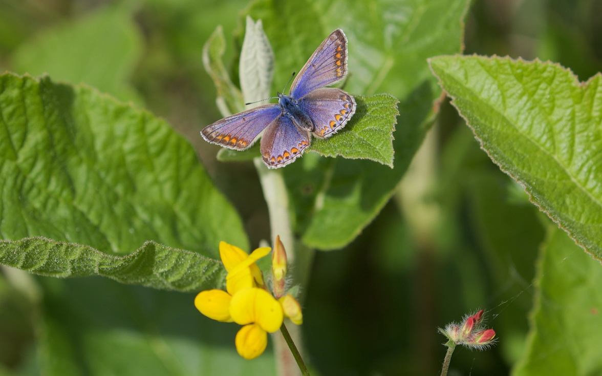 Common blue and trefoil